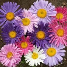 Bunga Ester Aneka Bunga Dan Tumbuhan Di Dunia